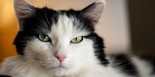 Long haired black and white cat