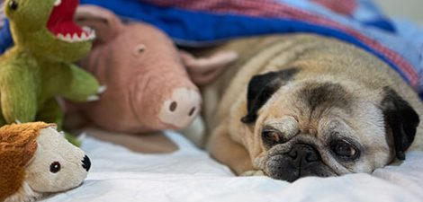 Pug dog laying with toys